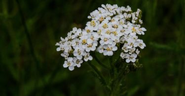 Common yarrow, Achillea millefolium