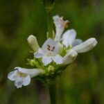 Small flowered penstemon, Penstemon procerus