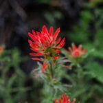 Indian Paintbrush (Castilleja sp.)