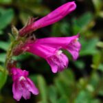 Mountain pride, Penstemon newberryi