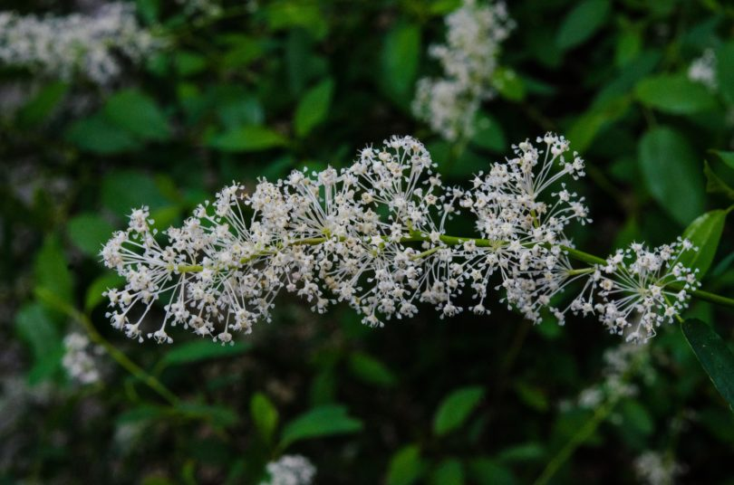 Deer brush, Ceanothus integerrimus