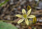 Mountain pretty face, Triteleia ixioides ssp. anilina,