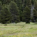 ake Schneider Meadow with buttercups and Bistort on the Caples Creek trail