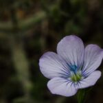 Pale flax, Linum bienne