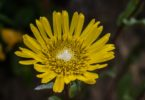 Coastal gumweed, Grindelia stricta