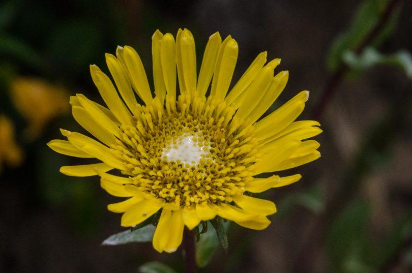 Coastal gumweed, Grindelia stricta