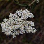 Common Yarrow, Achillea millefolium