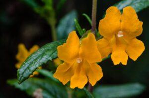 Bush monkey flower, Mimulus aurantiacus