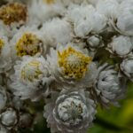 Pearly everlasting, Anaphalis margaritacea