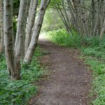 Alder trees along the Muddy Hollow trail