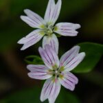 Candy flower, Claytonia sibirica