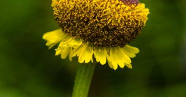 Sneezeweed, Helenium puberulum