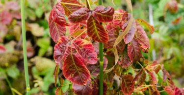 Poison oak, Toxicodendron diversilobum