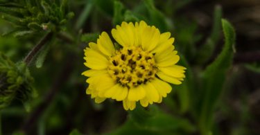 Hayfield tarweed, Hemizonia congesta ssp. lutescens
