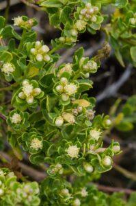 Coyote brush, Baccharis pilularis, Female flowers