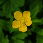 Buttercup sp. Not sure which