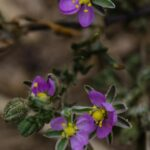 Sticky sand spurry, Spergularia macrotheca