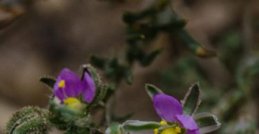 Sticky sand spurry, Spergularia macrotheca