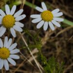Mayweed, Anthemis cotula