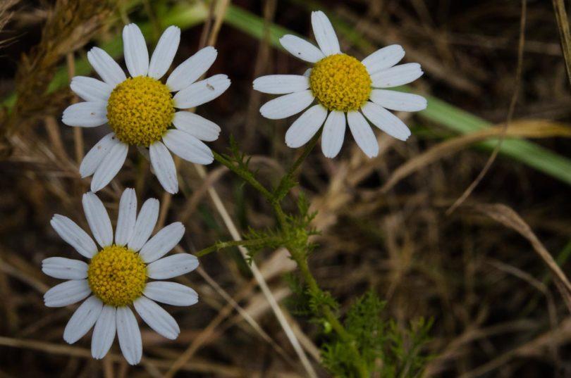 Mayweed, Anthemis cotula