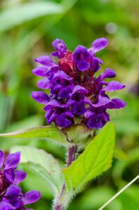 Self heal, Prunella vulgaris