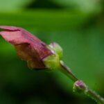 California bee plant, Scrophularia californica