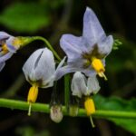 Douglas' nightshade, Solanum douglasii