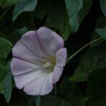 Purple western morning glory, Calystegia purpurata ssp. purpurata