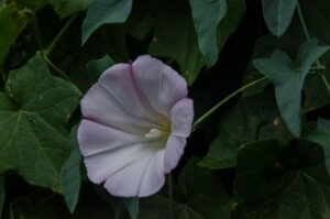 Purple western morning glory, Calystegia purpurata ssp. purpurata