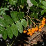 California mountain ash? Sorbus californica