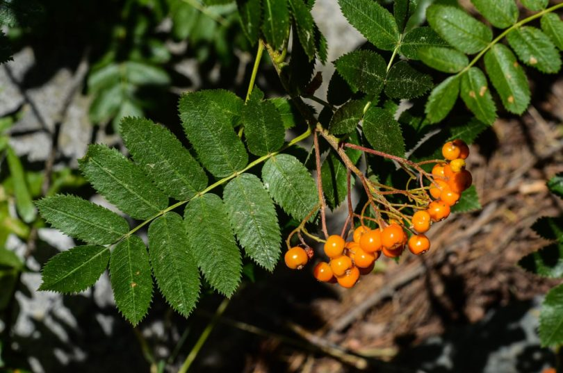 California mountain ash? Sorbus californica