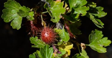 Sierra gooseberry, Ribes roezlii