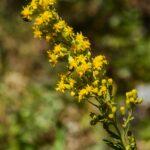 California goldenrod, Solidago velutina ssp. californica