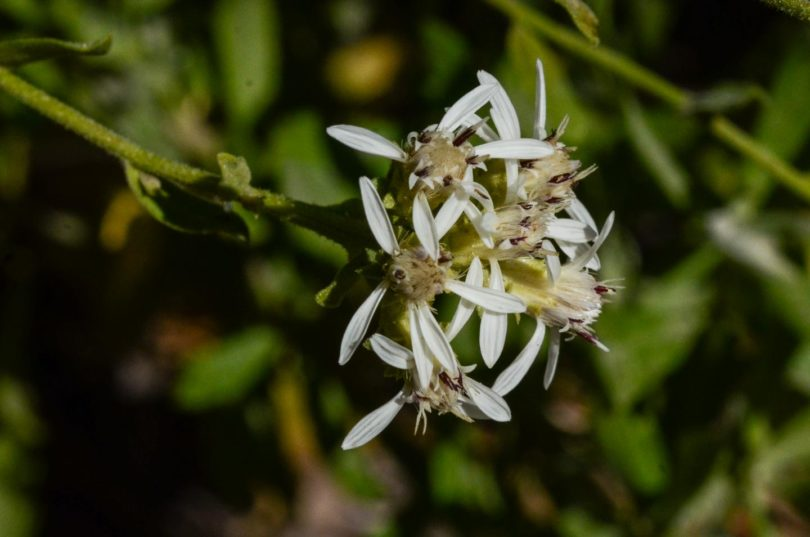 Oregon whitetop aster, Sericocarpus oregonensis