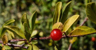 Bitter Cherry, Prunus emarginata,