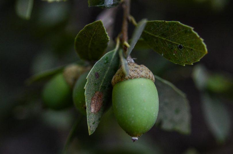 Huckleberry oak, Quercus vacciniifolia