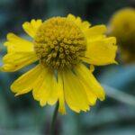 Sneezeweed,Helenium bigelovii