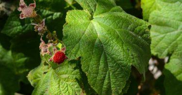 Western thimbleberry, Rubus parviflorus