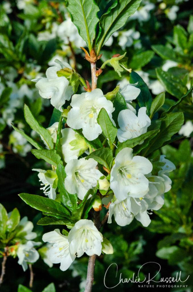 White Rhododendron, Rhododendron albiflorum