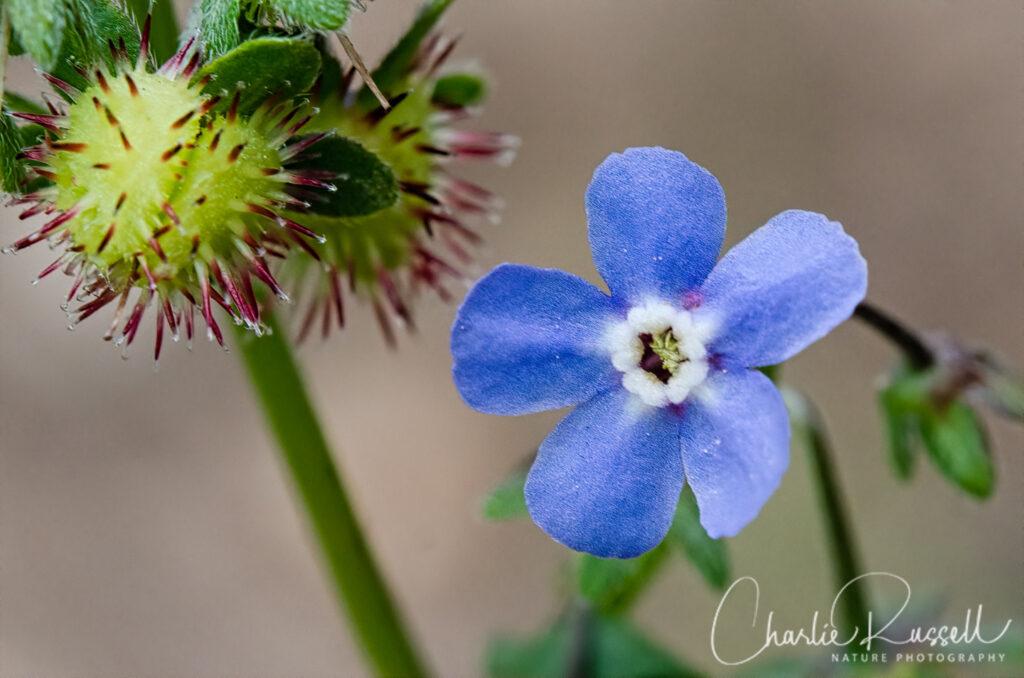 Jessica's stickseed, Hackelia micrantha