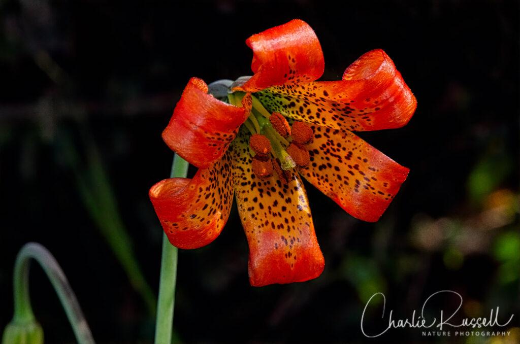 Coast lily, Lilium maritimum