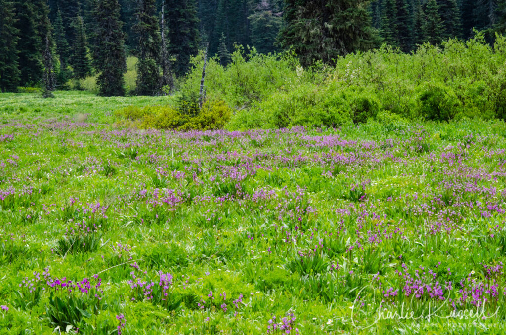 Blair Lake Meadow, meadow with masses of shooting stars