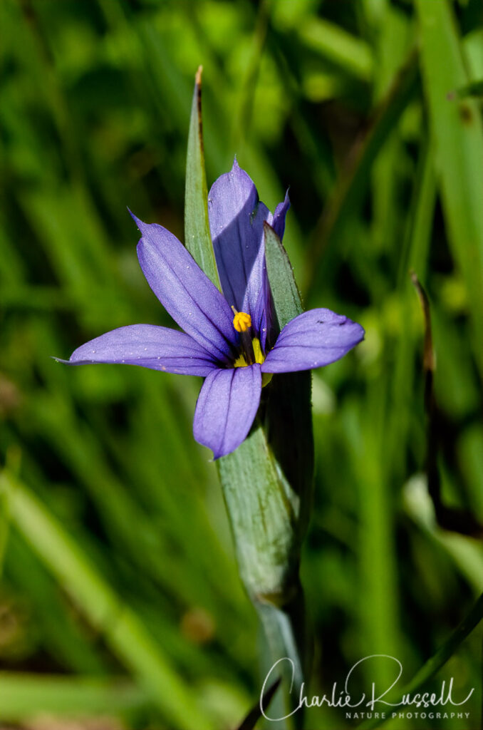 Idaho blue-eyed grass, Sisyrinchium idahoense var. idahoense
