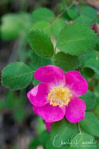 Dwarf rose, Rosa gymnocarpa