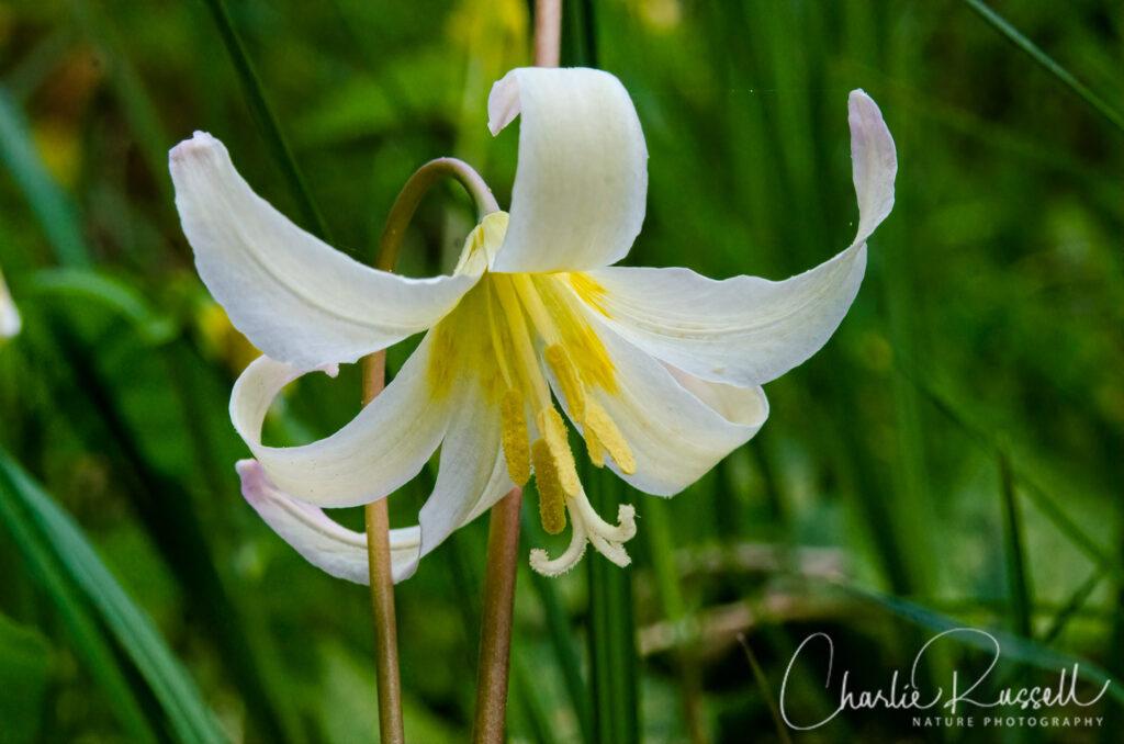 Oregon fawn lily, Erythronium oregonum