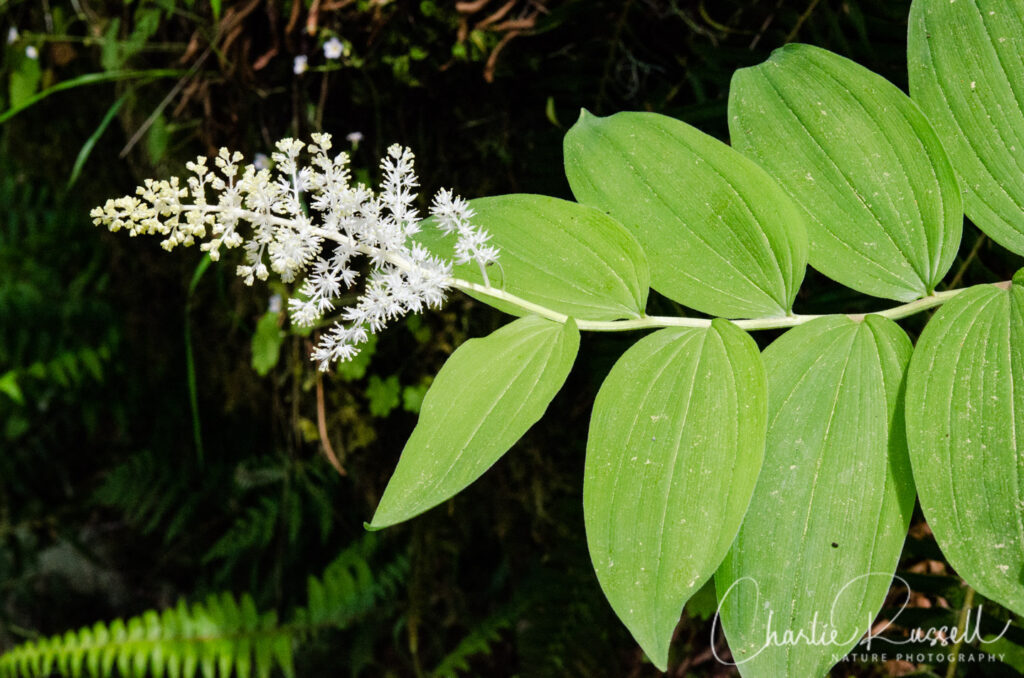 Feathery false lily of the valley, Maianthemum racemosum