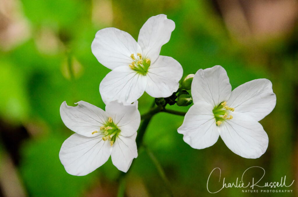 Milk maids, Cardamine californica