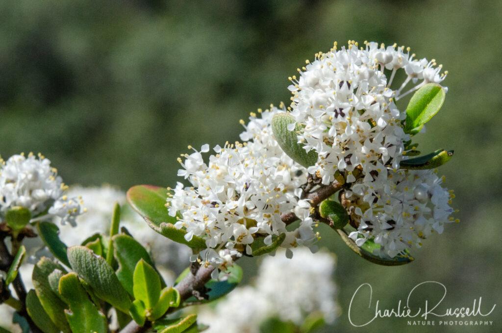 Los Vaqueros Wildflowers - Buckbrush, Ceanothus cuneatus var. cuneatus