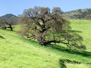Oak-dotted hillsides with lots of grass, but there are flowers to be found