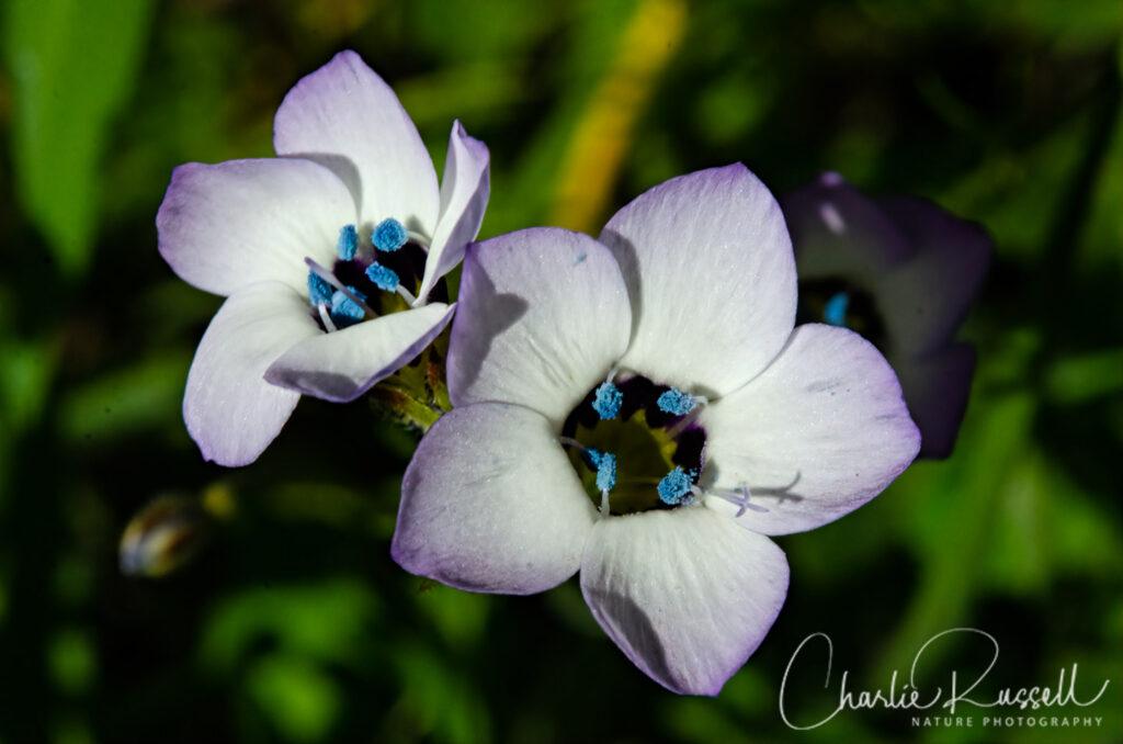 Bird's eye gilia, Gilia tricolor ssp. tricolor